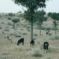 Thar desert pastoral life
