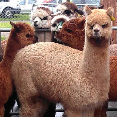 alpacas-brown